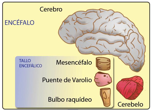 Estruturas cerebrais