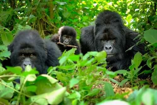 Gorilas na floresta