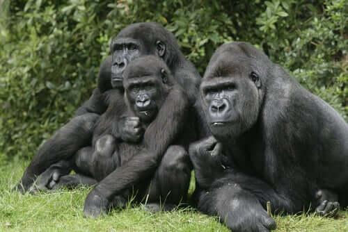 Grupo de gorilas