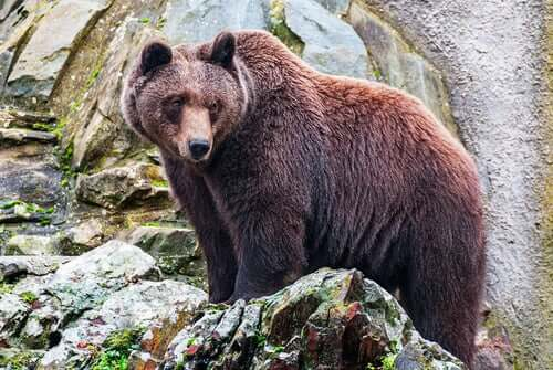 Urso pardo na natureza