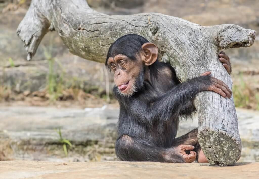 Bebê chimpanzé na natureza