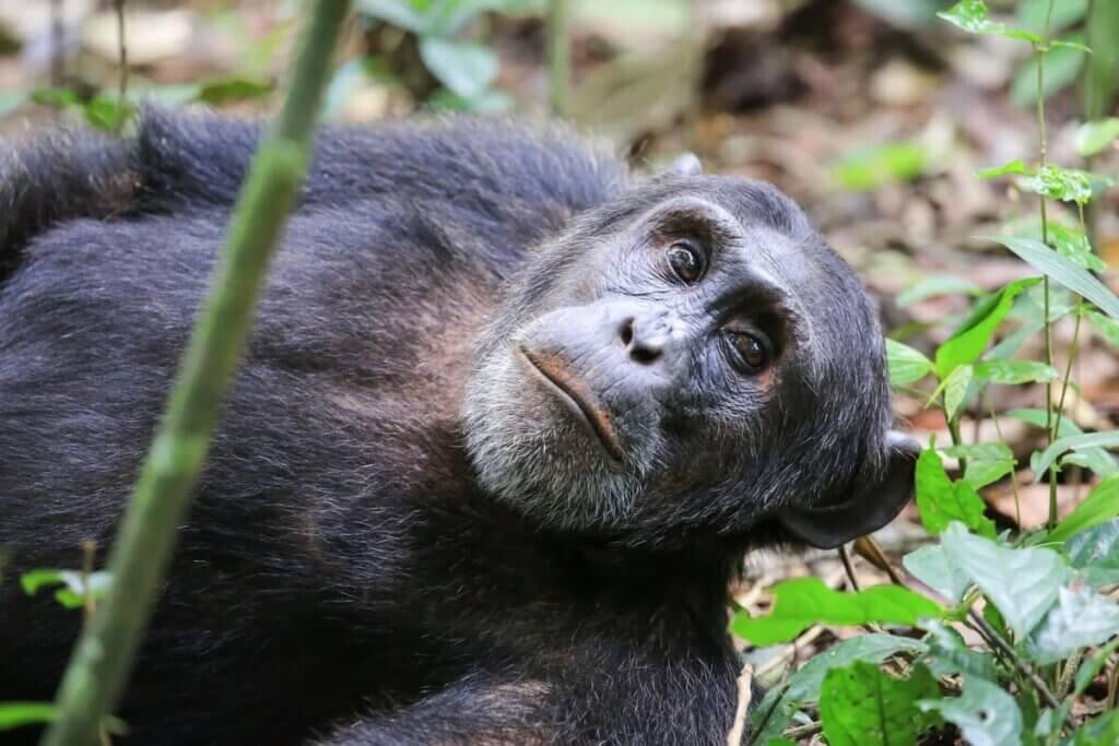 A curiosidade do chimpanzé