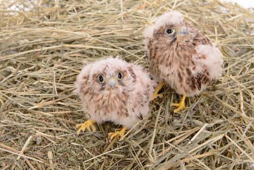 Filhotes de falcão