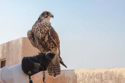 Como treinar falcões?