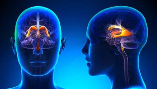 Sistema ventricular cerebral: características e funções