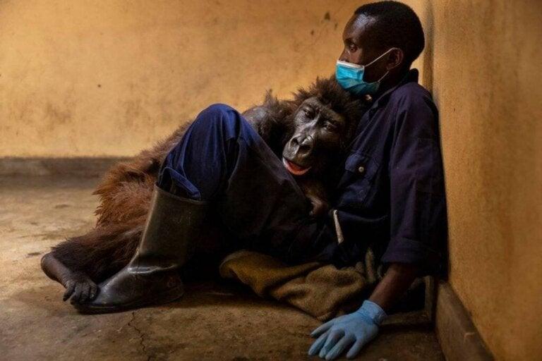 Gorila Ndakasi deixa este mundo nos braços do seu cuidador